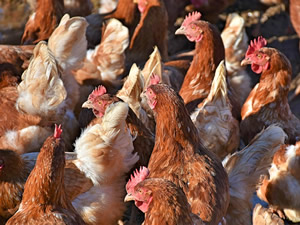 Grippe aviaire en Isère